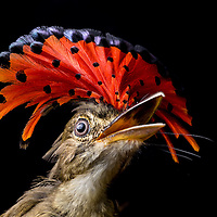 Royal Flycatcher (Onychorhynchus coronatus) in Cocobolo rainforest of Panama