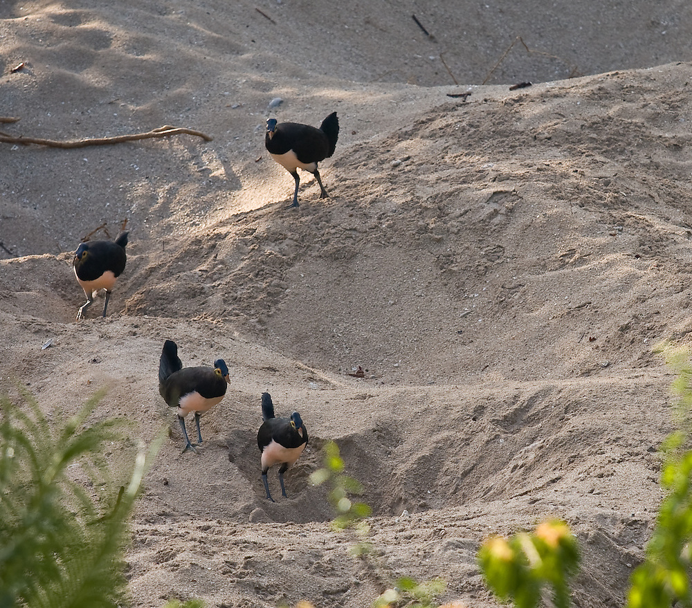 Maleo, Macrocephalon maleo, in Tompotika, Central Sulawesi