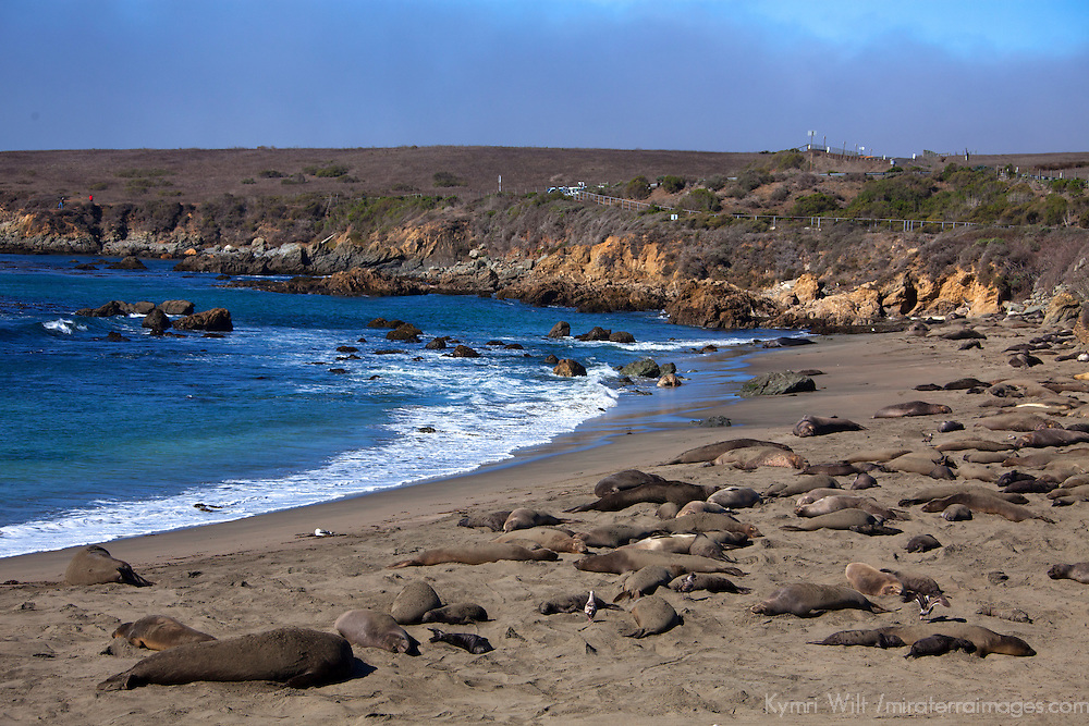 USA, California, San Luis Obispo. Elephant Seal Colony at Piedras Blancas.