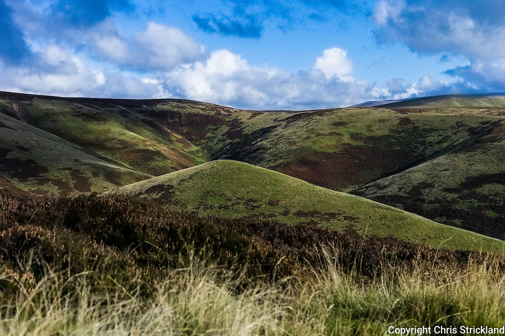 Beef Stand, Cheviot Hills, Northumberland, UK. 13th October 2015. Sheep wander through the heather and autumn colours in the Cheviots.