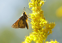 A skipper butterfly landed on a goldenrod flower during a butterfly identification hike at Raven Run Nature Sanctuary in Lexington, Ky. on Sunday, September 9, 12. About 30 participants heard a brief lecture by naturalist Brian Perry before taking a short hike through the meadow to spot and identify butterflies and moths. Photo by David Stephenson