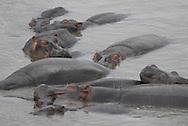 Hippopotamus ( Hippopotamus amphibious ) Masai Mara National Park. Kenya. Africa<br />