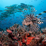 Lionfish patrolling the edge of Suzie's Bommie, a popular dive site accessible from Lololata Island Resort near Port Moresby. This small but healthy reef is always teeming with life, including large schools of sweetlips, thousands of basslets and many other marine organisms.