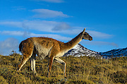 Guanaco (Lama guanaco)<br /> Torres del Paine National Park<br /> Patagonia<br /> Magellanic region of Southern Chile<br /> Native to South America