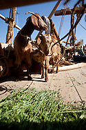 """16th February 2010. Muscat. Oman..Pictures of a pair of goats place onboard """"The Jewel of Muscat""""  as part of the food stores to be used during thier voyage as they recreate the origanol historic journey too Singapore."""