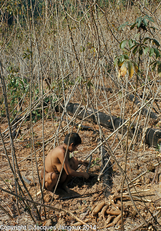 Slash-and-burn agriculture by Hoti Indians of Guiana Highlands of Venezuela: woman harvesting manioc tubers.