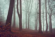 Beech tree forest in fog