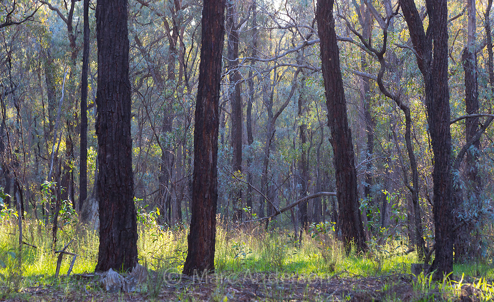 Beautiful Australian ironbark woodland backlit by the sun, Chiltern Box-Ironbark National Park, Victoria, Australia