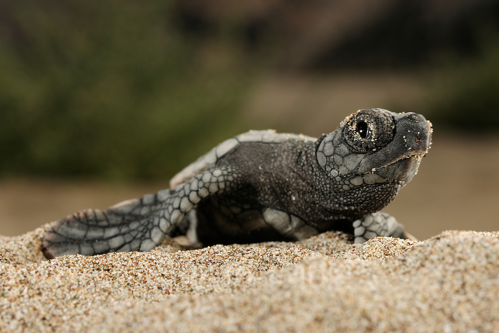 The hatchlings of the Loggerhead Sea Turtle (Caretta caretta) struggle hard to hatch out of their egg shells, emerge from the sand and find their direction once they reached the surface. | Unechte Karettschildkröte (Caretta caretta)