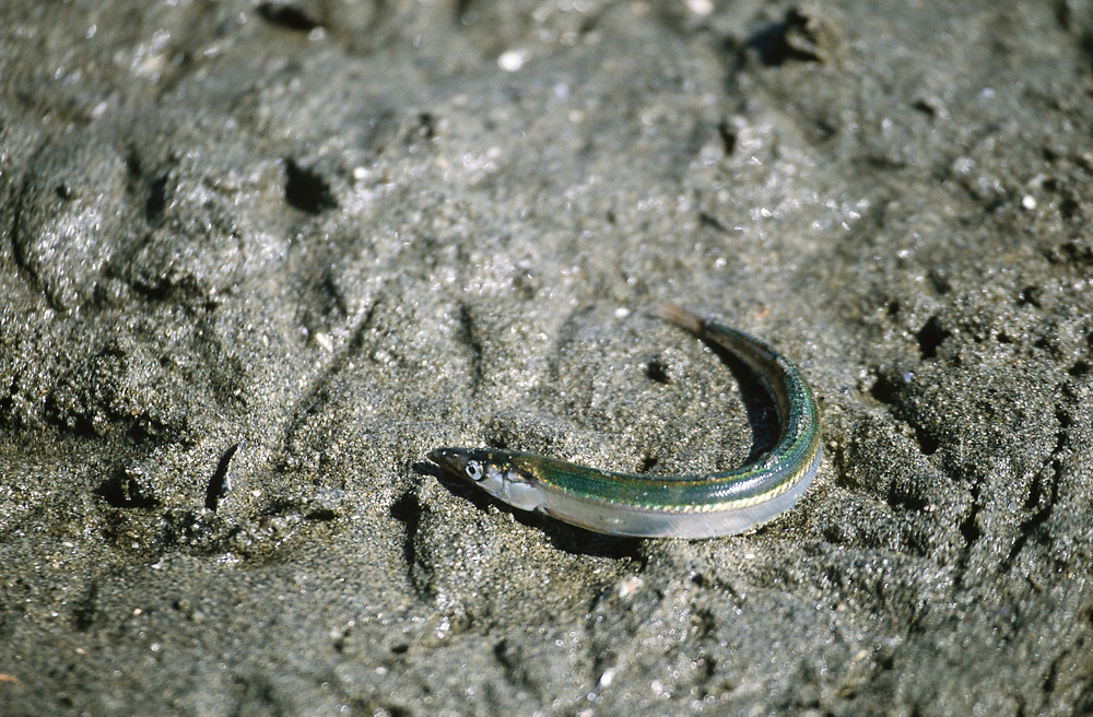 Alaska. Glacier Bay NP. A newborn sand  lance squiggles towards the ocean.