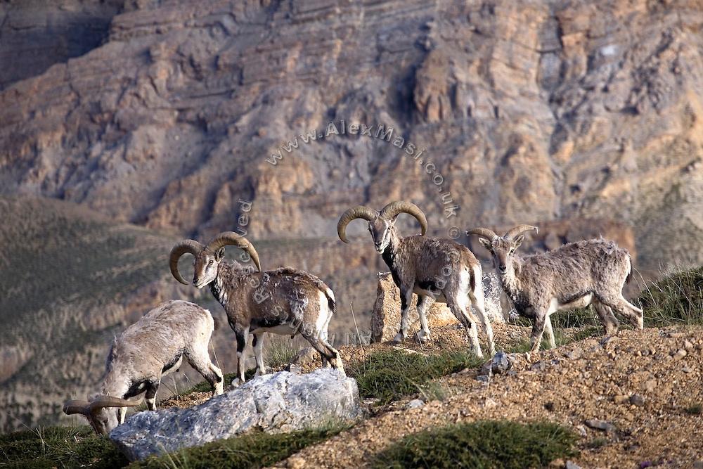 Himalayan Blue Sheep