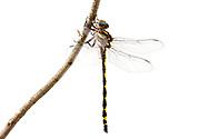 Arrowhead Spiketail (Cordulegaster obliqua) - male<br /> TEXAS: Jasper Co.<br /> Boykin Springs Recreational Area; Angelina National Forest, Pitcher Plant Bog<br /> 7-April-2016<br /> J.C. Abbott &amp;  K.K. Abbott #2792