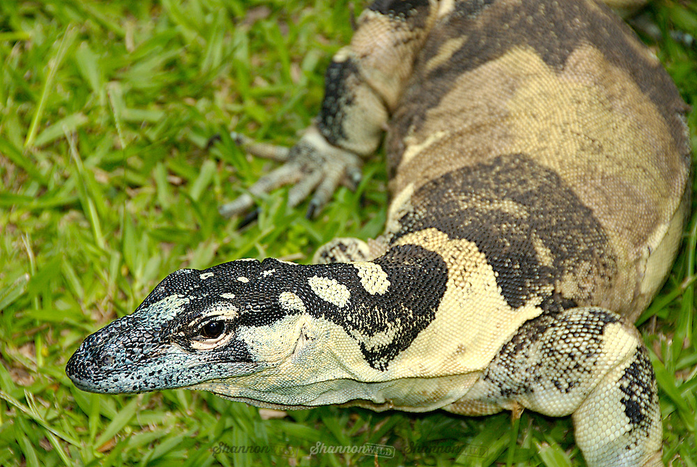 Lace Monitor (Varanus varius) Bell's phase defined by the large bands of black and yellow.  Native to  Australia.