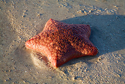 Red Cushion star (Culcita schmideliana) in Camden Sound on the Kimberley coast.