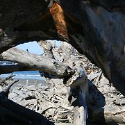 A pile of dead trees, driftwood logs on a Jekyll Island Beach. The center driftwood piece looks lika crazed Elephant.