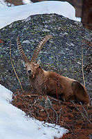 An Ibex in his element in Park Grand Paradiso in the northern Italian Alps.