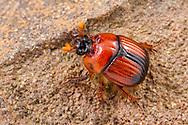 Earth-Boring Scarab Beetles (Bolbocerosoma elongatum)<br /> United States: Texas: Brewster Co.<br /> Big Bend National Park; Chisos Basin<br /> 27.Aug.2016<br /> J.C. Abbott #2860