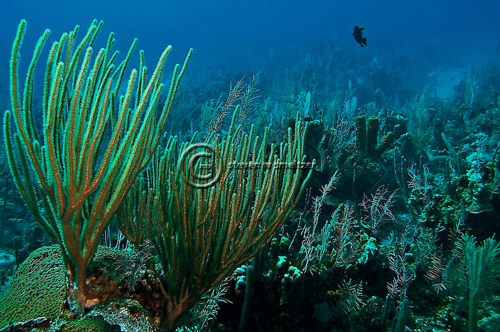 Coral garden, slit-pore sea rods, sponges, hard coral, star coral, Grand Cayman