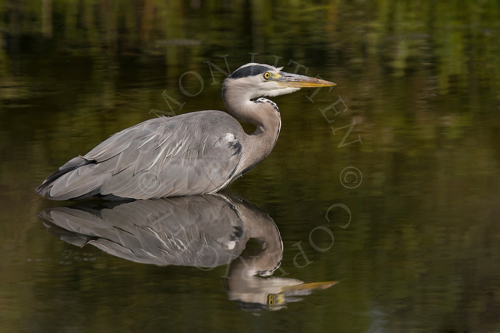 Grey Heron (Ardea cinerea) adult hunting in shallow pond, UK.