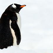 Penguins / Antarctica | Photos