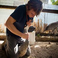SARASOTA, FL -- October 2012 -- Hospital staffer Nick Larson feeds and injured sandhill crane by tube at Save Our Seabirds (S.O.S.) on City Island in Sarasota, Florida.  (PHOTO / CHIP LITHERLAND)