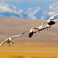 snow geese flying into the camera, landing, rocky mountain front background, montana