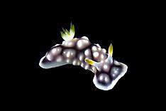 Sea slugs | Meeresschnecken