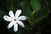 Tiare or Tahitian Gardenia blossom (Gardenia tahitiensis); Bora Bora, Tahiti.