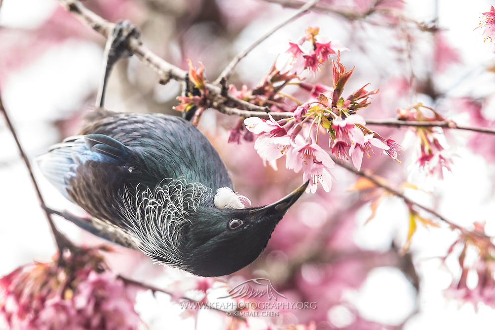 Tui feeding on nectar from a cherry blossom, while hanging upside down.
