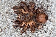 Giant spider in Jiguani, Granma, Cuba.