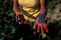 Harvester holding grapes - Languedoc, France - Photograph by Owen Franken