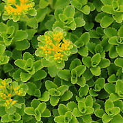 &quot;Yellow on Green&quot;<br /> <br /> Beautiful green ground cover in the shape of rosettes just starting to bloom yellow flowers.