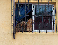 Dogs in the window, Valparaiso, Chile