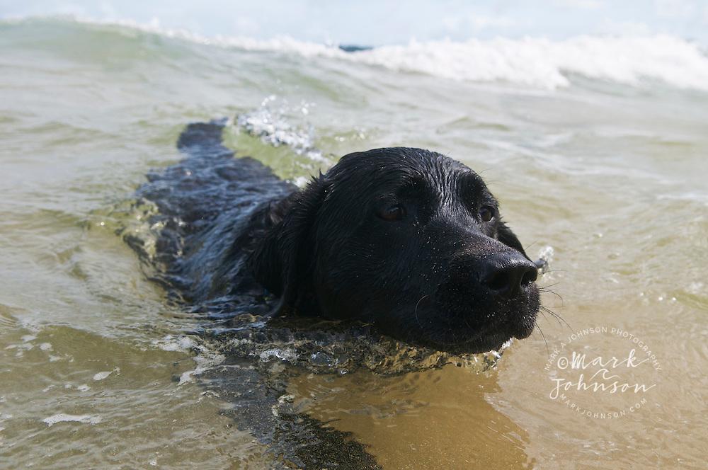 Black labrador retriever swimming in the ocean, Kauai, Hawaii
