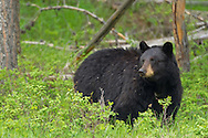 Vegetation makes up the bulk of the black bears' diet. In the Yellowstone region some favorites include grasses and sedges, dandelion, clover, spring beauty and horsetail.