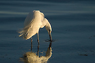 Little Egret fishing in Ria Formosa Natural Park - Algarve, Portugal