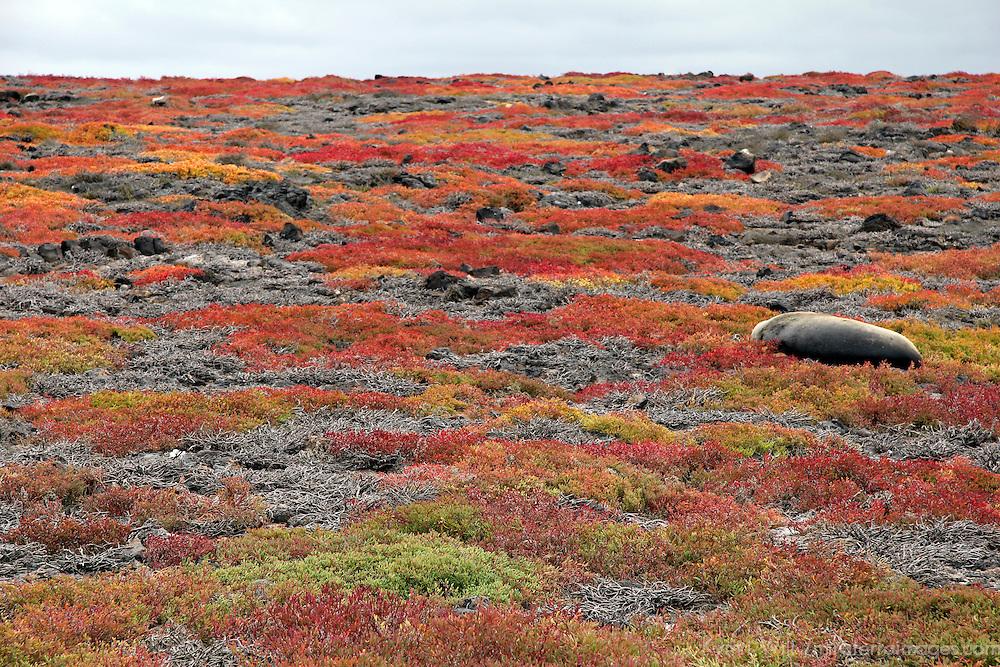 South America, Ecuador, Galapagos, South Plaza Island. a Sea Lion rests amid the carpet of sesuvian.