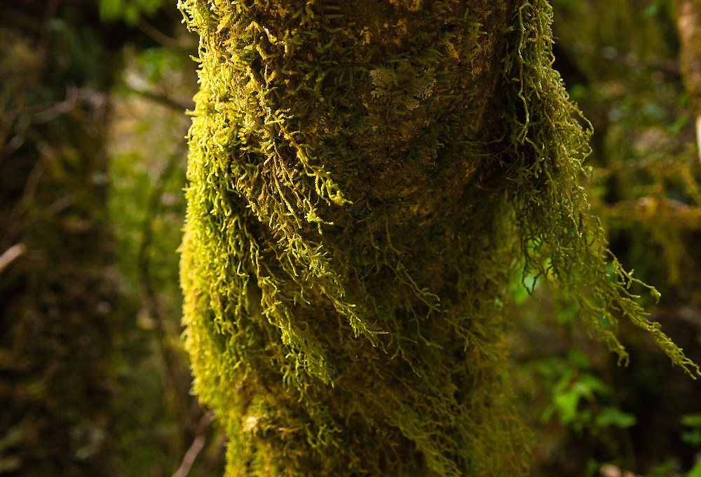 A breeze blows through 'Weymouthia mollis' hanging moss on the trunk of a Beech tree, Milford Track, Fiordland, New Zealand