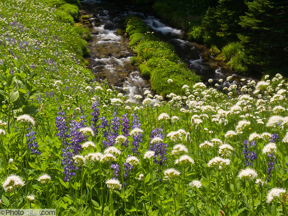 Hiking in fields of lupine and other flowers at Berkeley Park, Mount Rainier National Park, Washington, USA. Lupinus is a genus in the pea family (also called the legume, bean, or pulse family, Latin name Fabaceae or Leguminosae).