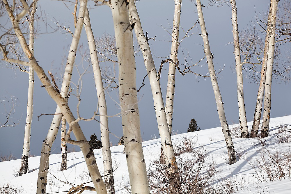 Quaking aspen (Populus tremuloides) trees in winter, against dark skies, Uncompahgre National Forest, Colorado.