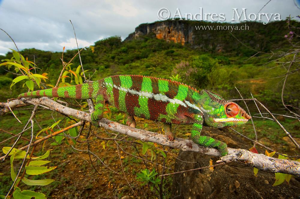 Giant Madagascar or Oustalet's Chameleon, male (Furcifer oustaleti ...