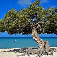 Iconic Divi-divi Tree at Eagle Beach near Oranjestad, Aruba <br /> When you Google Aruba you will immediately see numerous photos of this twisted, windswept tree. The locals call it divi-divi, the Arawak name is watapana, the scientific classification is caesalpinia coriaria and the island considers it their national tree. This iconic symbol of Aruba is bent towards the Caribbean Sea along the beautiful Eagle Beach. Don&rsquo;t miss it!