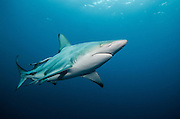 Oceanic Black-tip shark (Carcharhinus limbatus) &amp; Remora (Remora remora)<br /> Baited shark dive<br /> Umkomaas<br /> KwaZulu Natal<br /> SOUTH AFRICA<br /> Range: Widespread in all tropical and subtropical continental waters