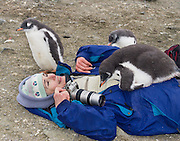 """A curious Gentoo Penguin  (Pygoscelis papua) chick cuddles onto a warm tourist on Aicho Island, Antarctica. """"Don't approach penguins closer than 15 feet,"""" says an Antarctic tourism rule in 2005. But if you lie down on the ground more than 15 feet away, a curious Gentoo Penguin chick may approach you. An adult Gentoo Penguin has a bright orange-red bill and a wide white stripe extending across the top of its head. Chicks have grey backs with white fronts. Of all penguins, Gentoos have the most prominent tail, which sweeps from side to side as they waddle on land, hence the scientific name Pygoscelis, """"rump-tailed."""" As the the third largest species of penguin, adult Gentoos reach 51 to 90 cm (20-36 in) high. They are the fastest underwater swimming penguin, reaching speeds of 36 km per hour. For licensing options, please inquire."""