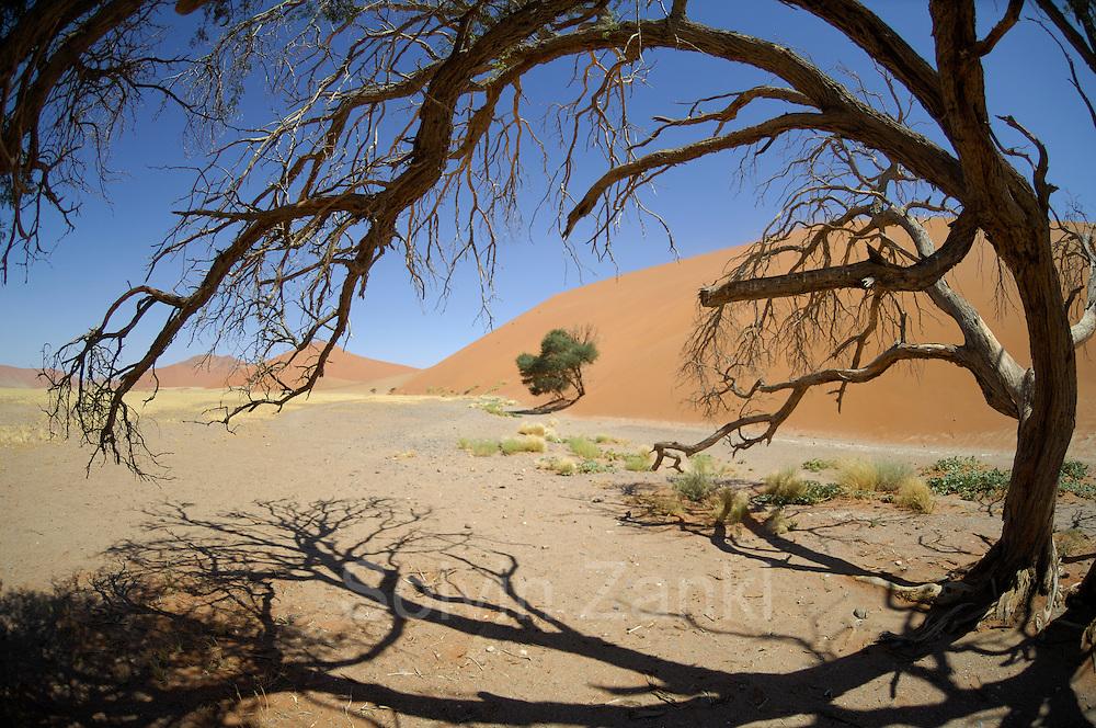 Zwischen den berühmten roten Sanddünen des Sossusvlei liegen flache, zeitweise von Wasser bedeckte Flächen. Von den seltenen Regenfällen gespeiste Wasseradern ermöglichen einigen größeren Bäumen das Überleben.   Sesriem Sossusvlei sand dune;