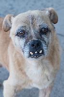 Dog portrait, undershot teeth