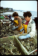 08: OYSTERS PROCESSING JAPANESE