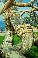 Bowed But Not Broken, Laguna Beach, California