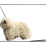 """SHOT 2/18/08 2:45:05 PM - Portraits of various dogs at the 13th Annual Rocky Mountain Cluster dog show at the National Western Complex in Denver, Co. """"Andy"""", a four year old male Puli shows off the long braided cords indicative of the breed. """"Andy"""" is owned by Carol Zamperini and Mary Carol Jenn both of Denver, Co. He was Best of Breed for three days straight and is already a champion. The Puli is a medium-small breed of dog known for its long, corded coat and was the dog of Hungarian peasants. The tight curls of the coat, similar to dreadlocks, make it virtually waterproof. The Puli is a solid colored dog that can be black, white, gray or a cream color, """"fako"""" in Hungary. The Puli is an ancient sheep dog of Hungary, introduced by the migration of the Magyars from Central Asia in the Middle Ages. Nomadic shepherds of the Hungarian plains valued their herding dogs, paying as much as a year's salary for a Puli. In Asia, the breed goes back 2000 years and anecdotal evidence suggests a Puli-like dog existed 6000 years ago. This breed is possibly the ancestor of the modern Poodle. Puliks are very intelligent, have excellent agility, are obedient and athletic. They are also fabulous herding dogs. They get attached to their owner and can be wary of strangers. The dog show features some of the top show dogs in the country and showcases close to 200 different breeds. Some 3,500 dogs and some of the top handlers in the country compete at the event which follows on the heels of Westminster. In a conformation show, judges familiar with specific dog breeds evaluate individual dogs for how well they conform to published breed standards. Conformation shows are also referred to as dog shows or breed shows. Conformation shows are typically held under the auspices of a national kennel club. At the highest levels are Championship or all-breed shows, which have separate classes for the majority of breeds.(Photo by Marc Piscotty / © 2008)"""
