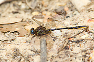 Diminutive Clubtail (Gomphus diminutus) - male<br /> SOUTH CAROLINA: Chesterfield Co.<br /> Cheraw State Park; Cheraw<br /> 6.May.2012  <br /> J.C. Abbott #2589